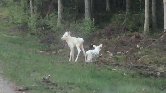 Veja um Raro Vídeo de Dois Alces Brancos Gémeos