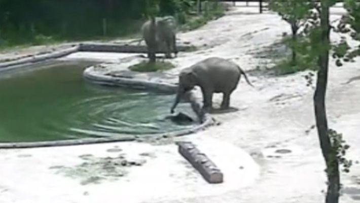 Veja Elefantes a Salvarem o seu Bebé numa Piscina