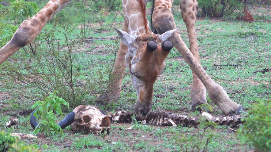 Girafas Encontradas a Alimentar-se de Esqueleto - Eis a Razão