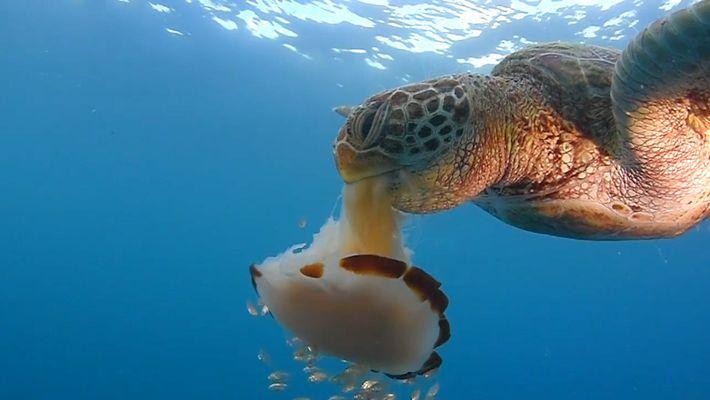 Veja Como Uma Tartaruga Devora uma Medusa