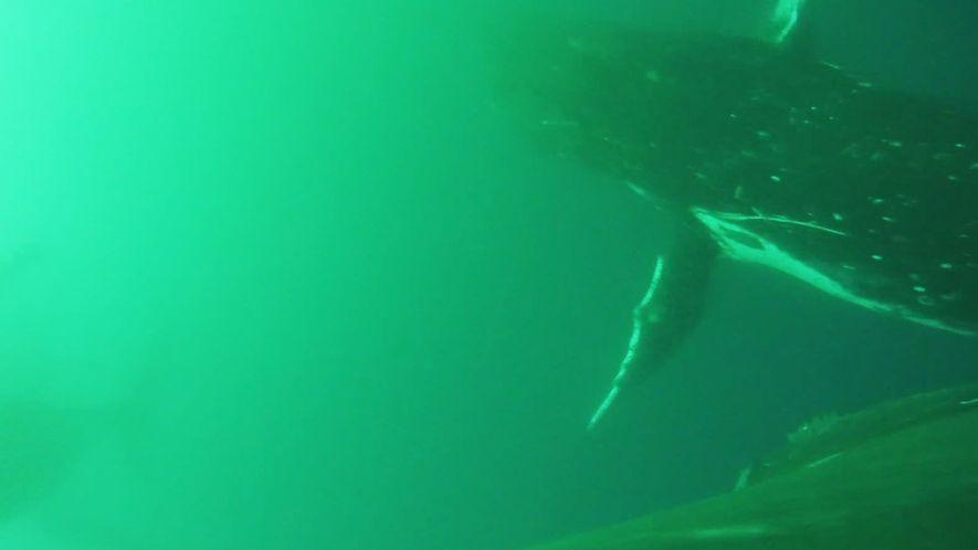 Primeiro Vídeo que Mostra Baleias a Mover as Barbatanas como se Fossem Asas