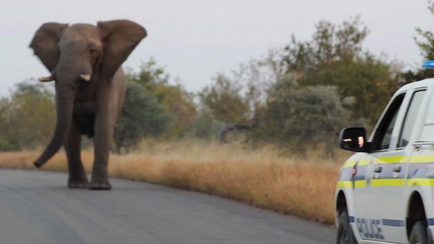 Elefante a Correr Provavelmente está Apenas a Divertir-se