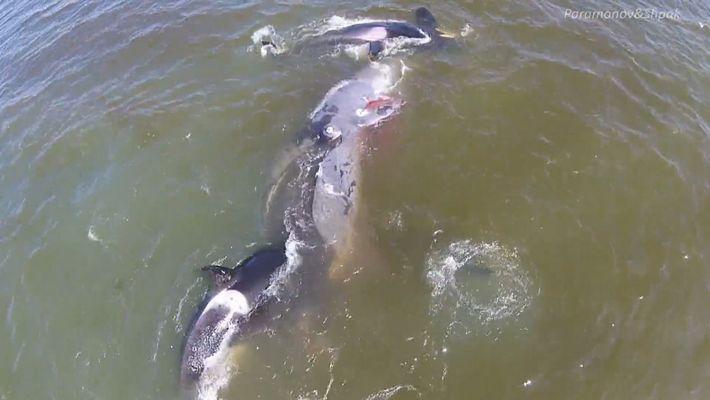 Vídeo Inédito: Ataque Organizado de Orcas Mata Baleia
