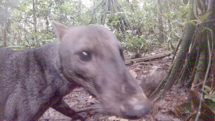 Cão da Amazónia Raro Apanhado em Vídeo