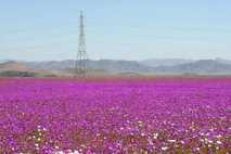 Surto de Flores Cresce no Deserto