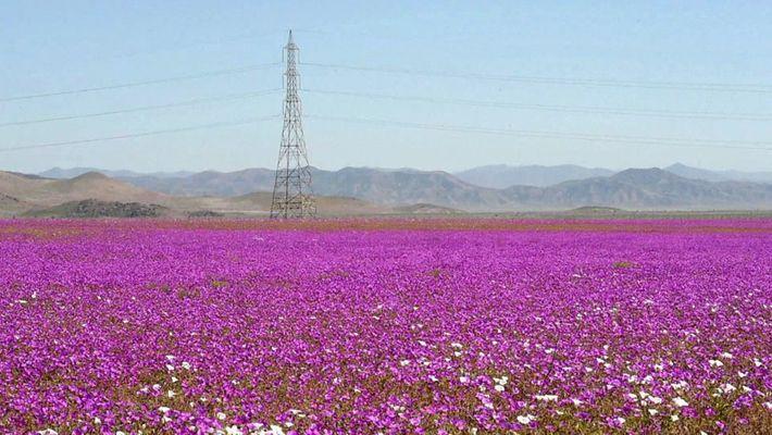 Um Surto de Flores Cresce Num dos Lugares Mais Desertos do Planeta