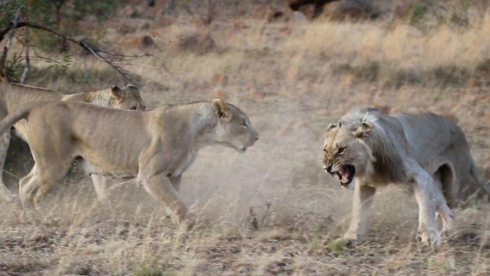 Leões Vêem o Seu Orgulho Ferido em Vídeo Raro