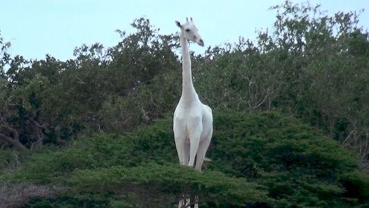 Girafas Brancas Raras Avistadas