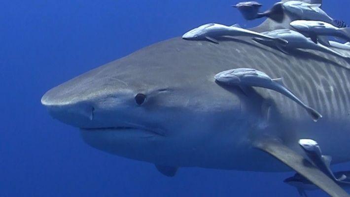 Veja Como é a Experiência de Nadar Com Tubarões-Tigre