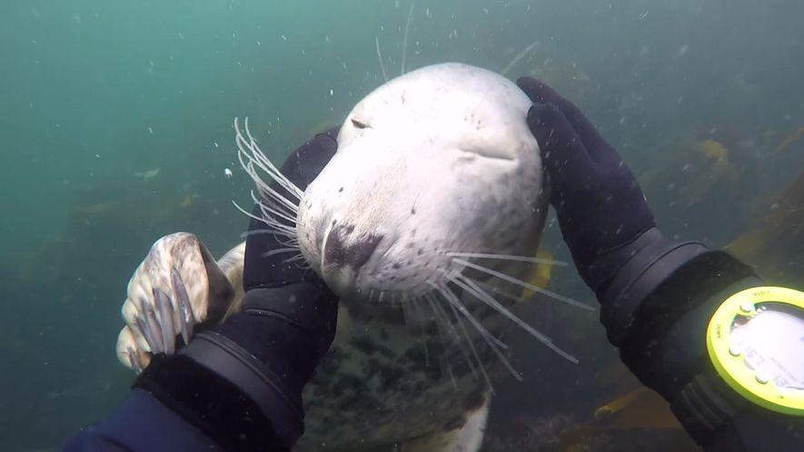 Veja uma foca a aproximar-se de um mergulhador.
