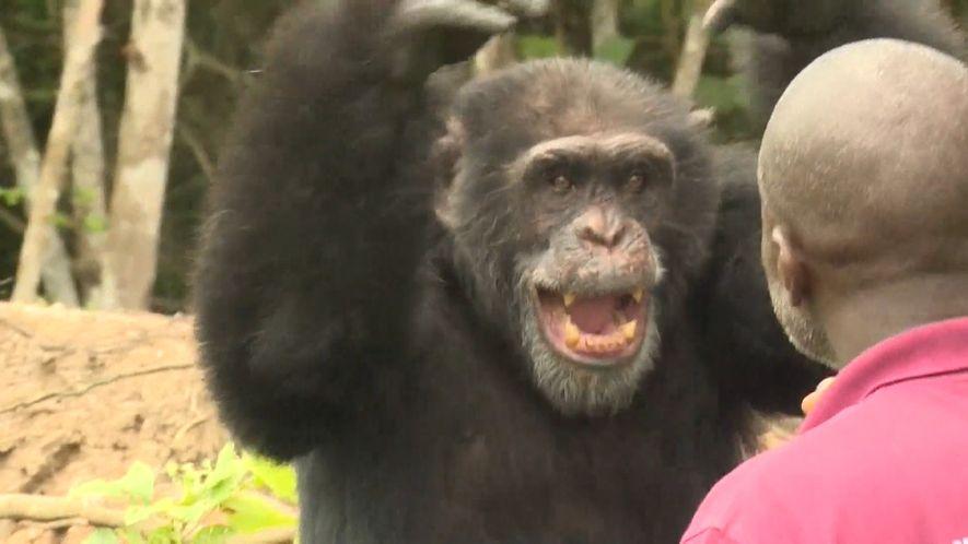 Veja Como um Chimpanzé Solitário Encontra Consolo no Seu Tratador Humano