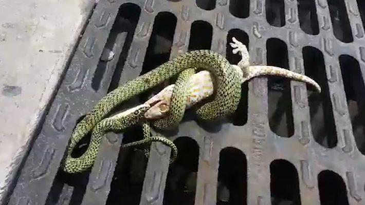 Confronto Entre Cobra e Gecko Tem Um Final Surpreendente