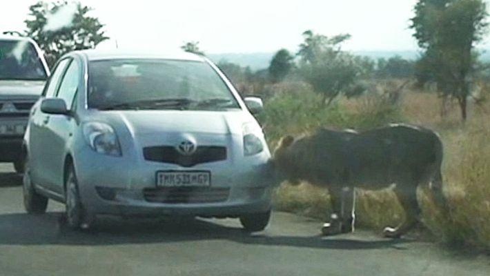 Leões Aprendem da Maneira Mais Dura a Não Caçar Carros