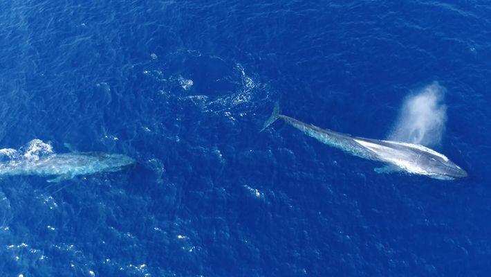 Veja: Esta pode ser a primeira filmagem de um comportamento sexual raro de uma baleia azul.