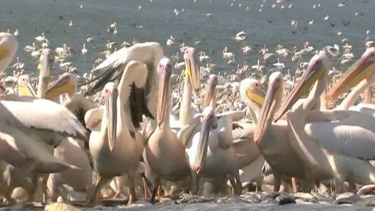 50,000 Pelicanos Descem a Israel Para um Almoço Grátis