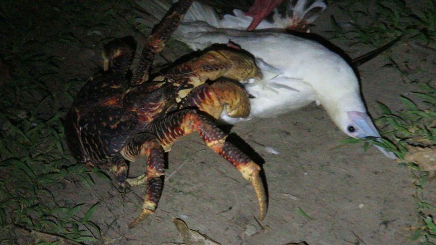 Veja Este Caranguejo Gigante atacar um Pássaro