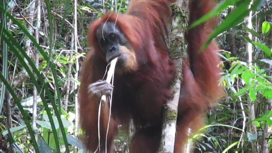 Nova Espécie de Orangotango é o Macaco Mais Raro da Terra