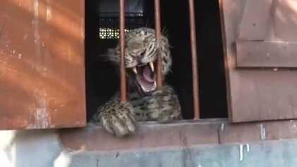 Leopardo Ataca Quatro Pessoas Numa Escola