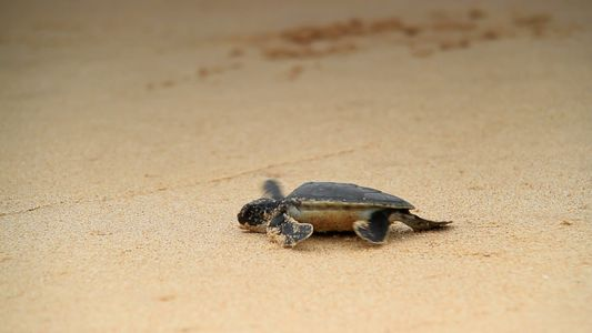 A Subida da Temperatura Aumenta o Número de Fêmeas da Tartaruga Marinha