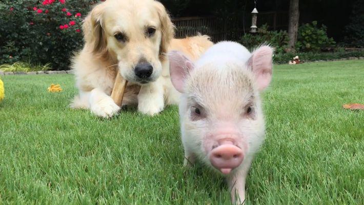 A Balada De Um Mini-Porco Fêmea e o Seu Companheiro Canino
