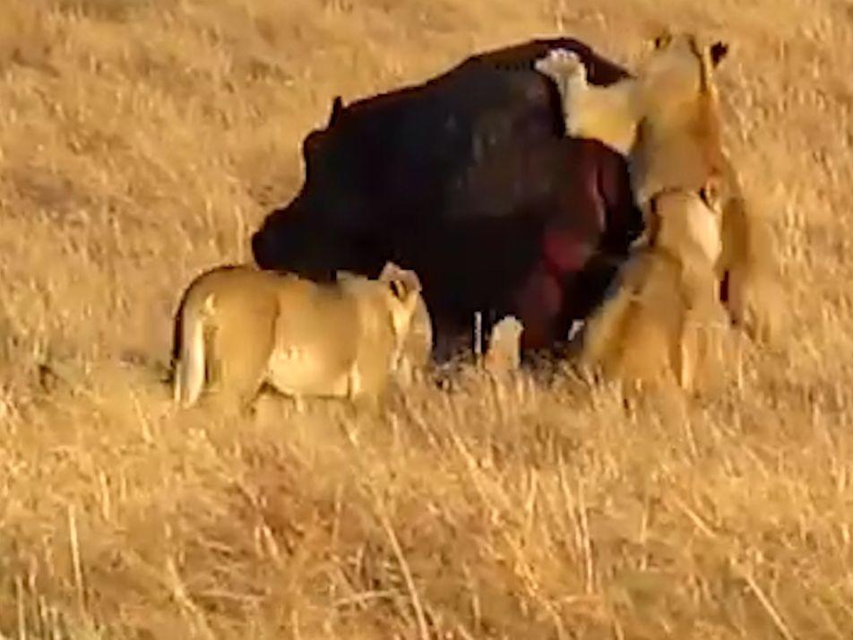 Um Hipopótamo Que Não se Incomoda Com Um Ataque de Leões