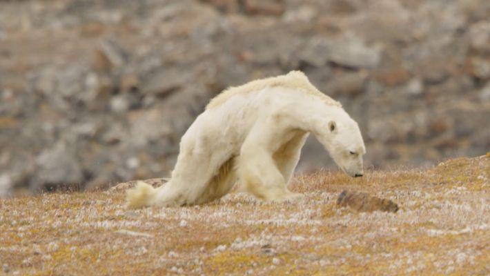 Alterações Climáticas: As Imagens Desoladoras de Um Urso Polar a Morrer à Fome