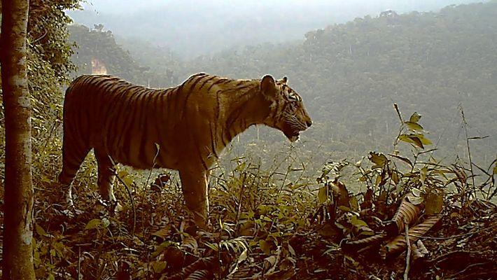 Tigre em Grave Perigo de Extinção Continua a Perder o Seu Habitat
