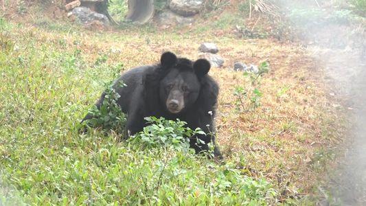 Veja Um Urso Resgatado com as Patas Amputadas Voltar a Andar