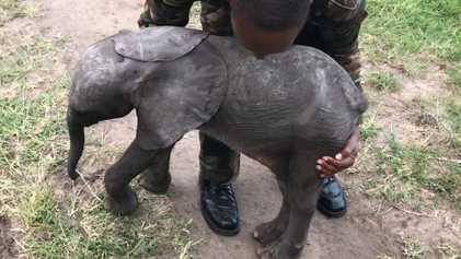 O Resgate de Uma Cria de Elefante Órfã em Helicóptero