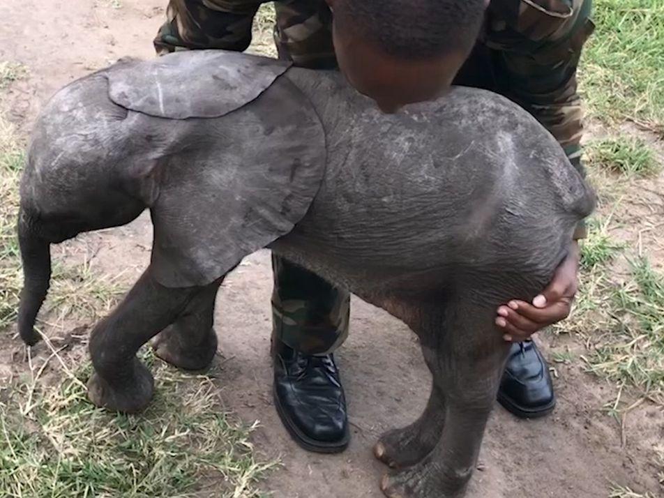 Um Elefante Bebé Apanhou Boleia de um Helicóptero