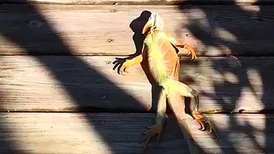 As Iguanas Estão a Cair das Árvores na Flórida Devido ao Frio