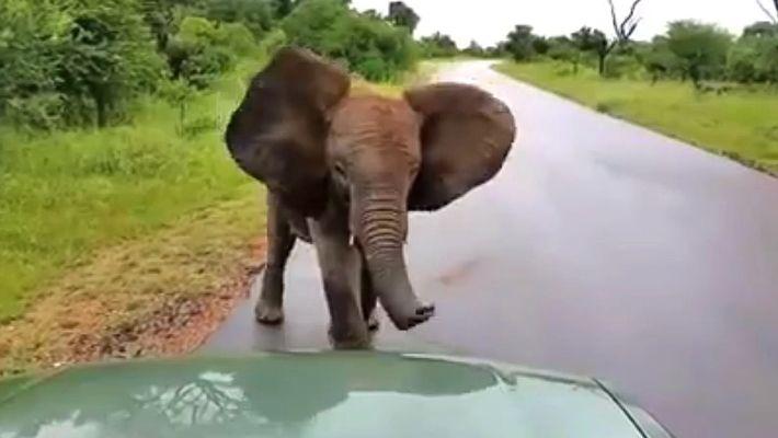 """Veja Um Jovem Elefante Brincalhão """"Atacar"""" Carros"""