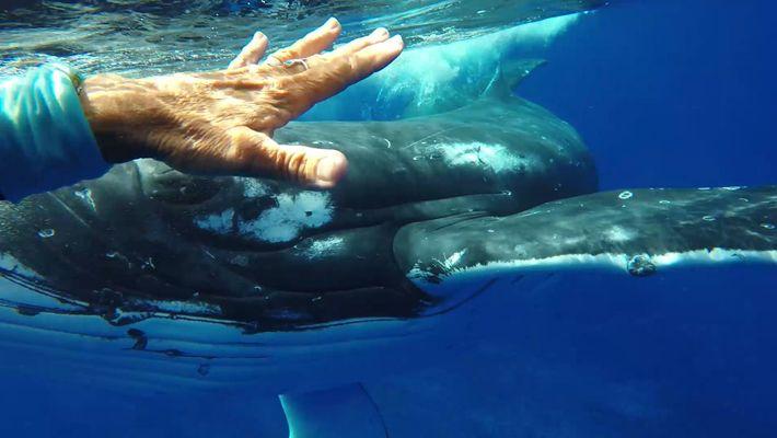 Baleia Salva Vida de Mergulhadora?