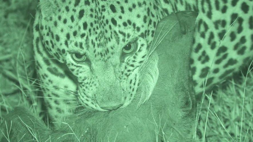 Veja um Ataque de Leopardo a um Javali Distraído