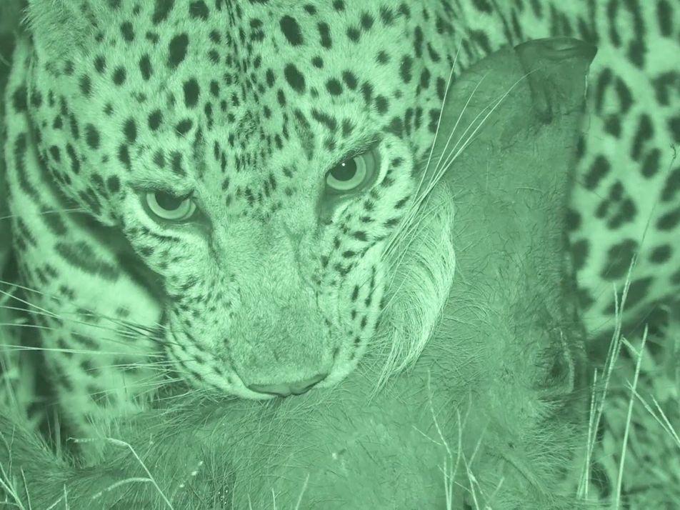 Veja Ataque de Leopardo a Javali Distraído