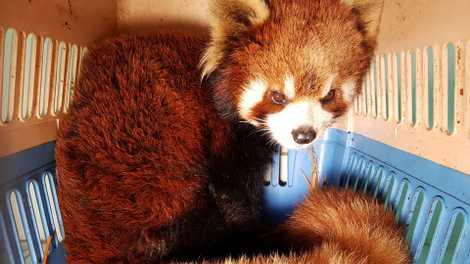 Resgate de Pandas Vermelhos a Contrabandistas de Animais Selvagens