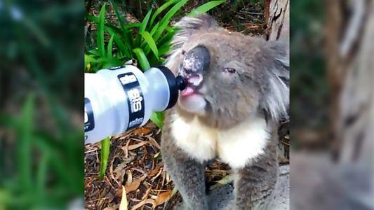 A Ajuda dos Australianos aos Animais Afetados Pelo Calor