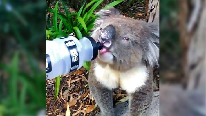 Como os Animais da Austrália Aguentam as Ondas de Calor