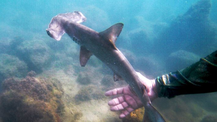 Veja Um Viveiro de Tubarões-martelo Escondido nas Galápagos