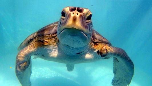 Tartarugas Marinhas Obtêm Cirurgia que lhes Salva a Vida