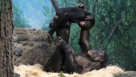 """Porque É Que Estes Bonobos Estão a """"Brincar ao Avião"""""""