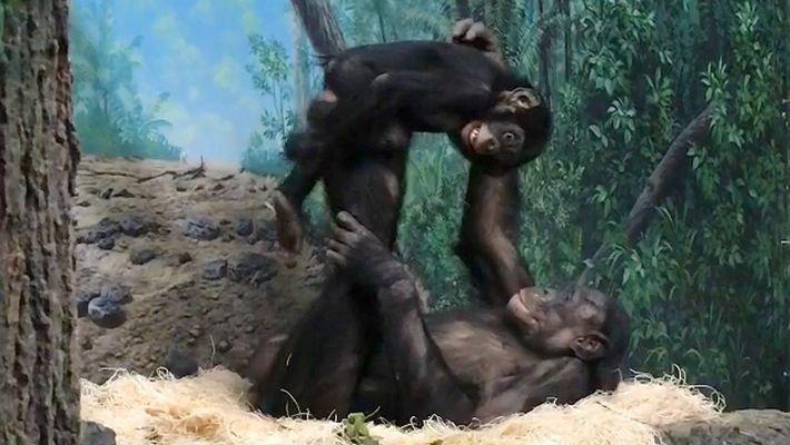 """Bonobos Jovens Brincam ao """"Avião"""" no Jardim Zoológico de Cincinnati"""