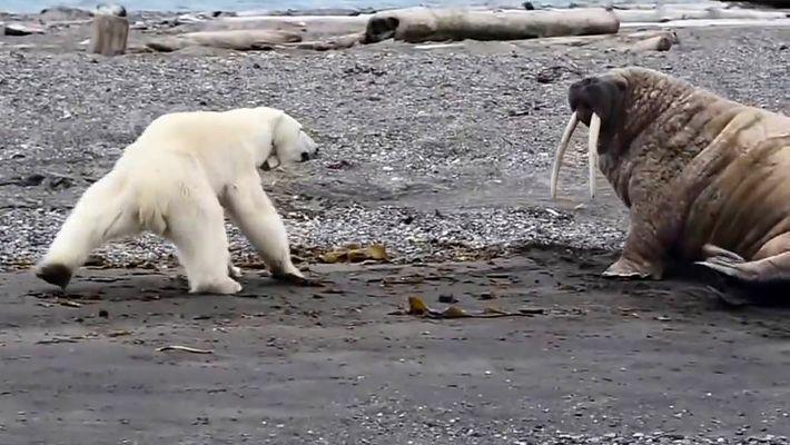 Ursa Polar Desesperada por Comida Desafia Morsa