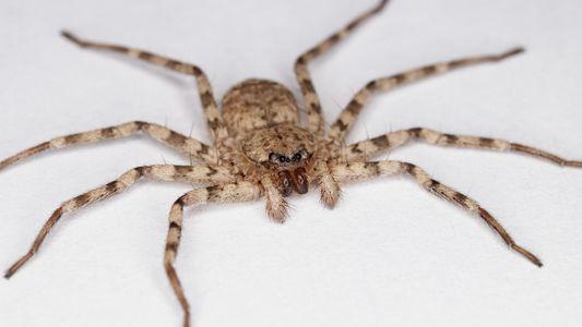 Veja Como Estas Aranhas Atacam com a Rotação Mais Rápida do Mundo