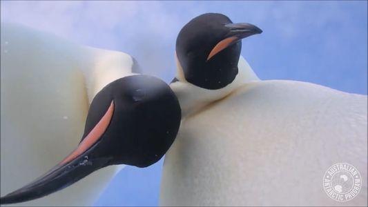 Casal de Pinguins Perplexo Descobre a 'Selfie'