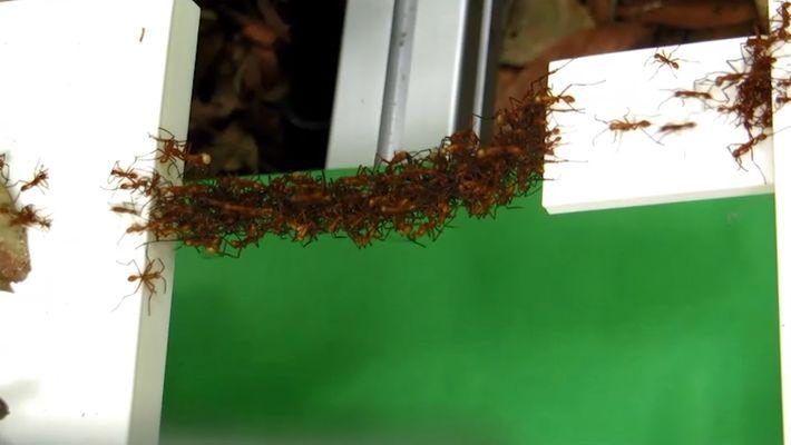 Formigas Constroem Pontes Usando os Seus Corpos