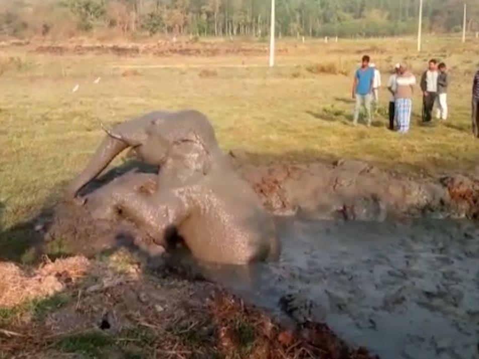 Moradores Usam Retroescavadora Para Resgatar Elefante Preso