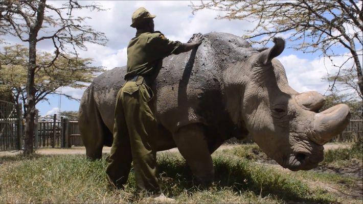 Morreu Sudão, O Último Rinoceronte-Branco Macho