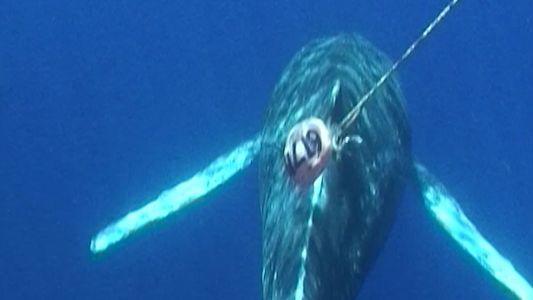 Socorristas Libertam Baleias-Corcunda em Redes de Pesca no Havai