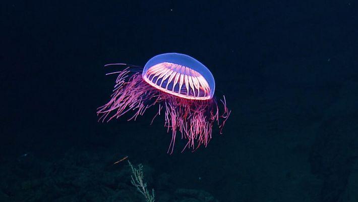 Medusa Fascinante Captada a Grande Profundidade